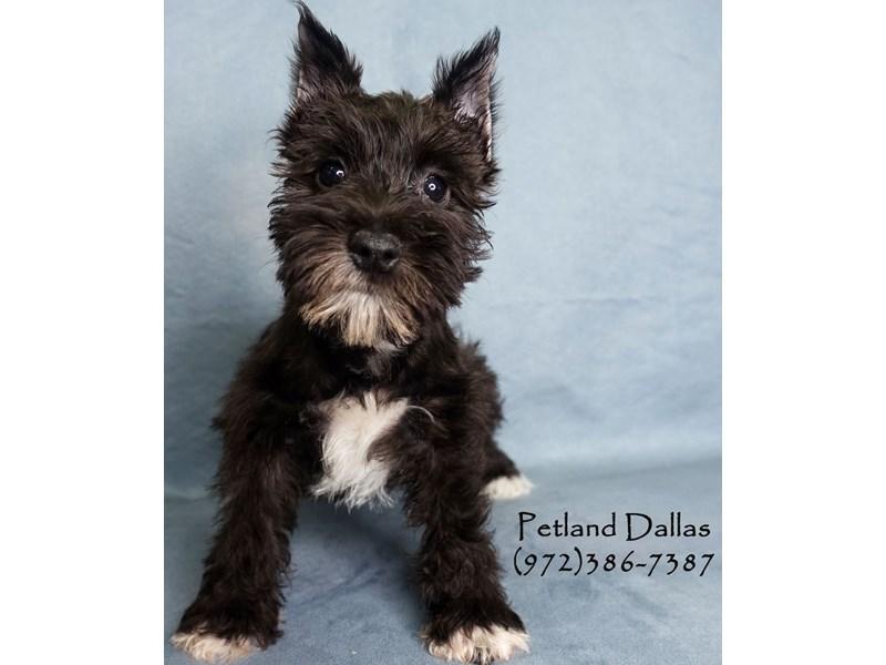 Miniature Schnauzer-Female-Black-3027371-Petland Dallas, TX