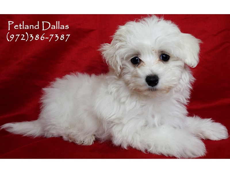 Maltipoo-Male-White-3025543-Petland Dallas, TX