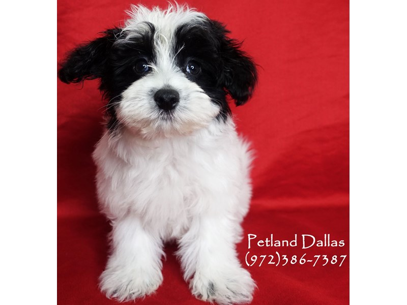 Maltipoo-Male-White / Black-3025542-Petland Dallas, TX