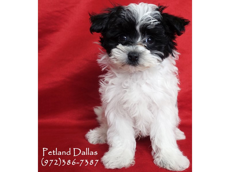 Maltipoo-Male-White / Black-3025541-Petland Dallas, TX