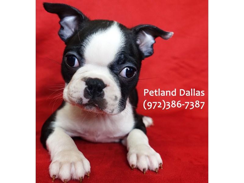 Boston Terrier-Male-BLK WH-3024990-Petland Dallas, TX