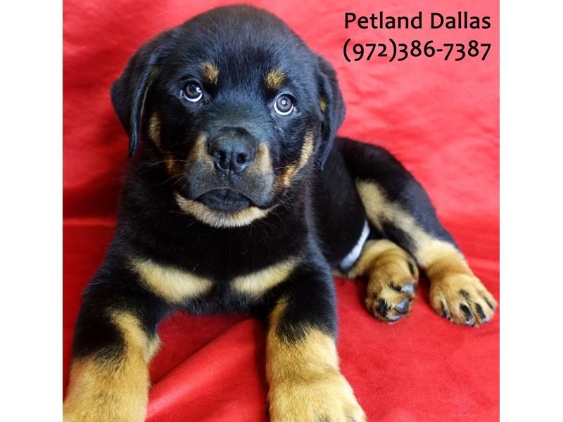 Rottweiler-Male-Black & Tan-3021360-Petland Dallas, TX