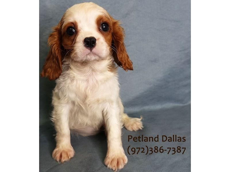 Cavalier King Charles Spaniel-Male-Blenheim-3031541-Petland Dallas, TX