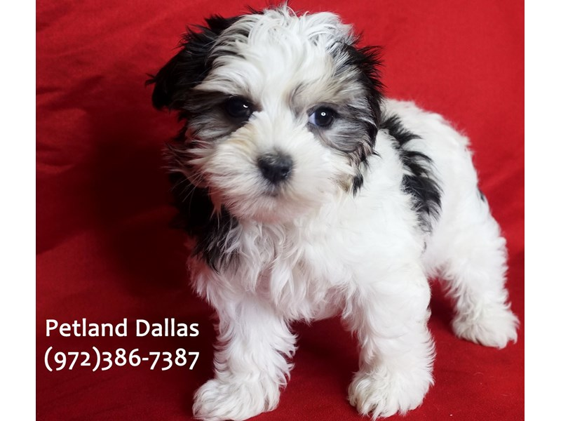 Maltipoo-Female-Black and White-3031534-Petland Dallas, TX