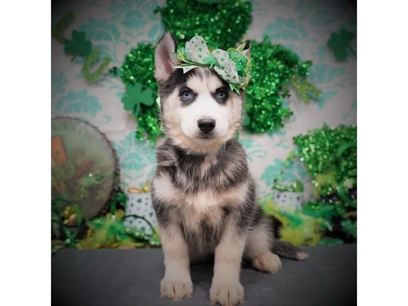Siberian Husky-Female-Black / White-3038972-Petland Dallas, TX