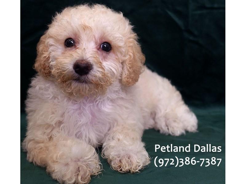 Miniature Poodle-Female-Cream-3041745-Petland Dallas, TX