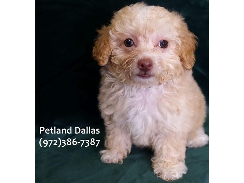 Miniature Poodle-Female-Cream-3041741-Petland Dallas, TX
