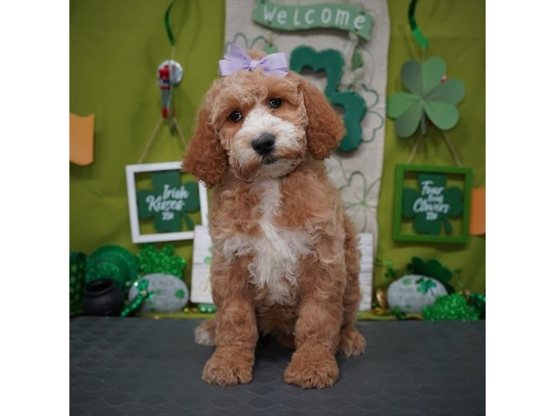 Goldendoodle 2nd Gen-Female-Red-3046844-Petland Dallas, TX