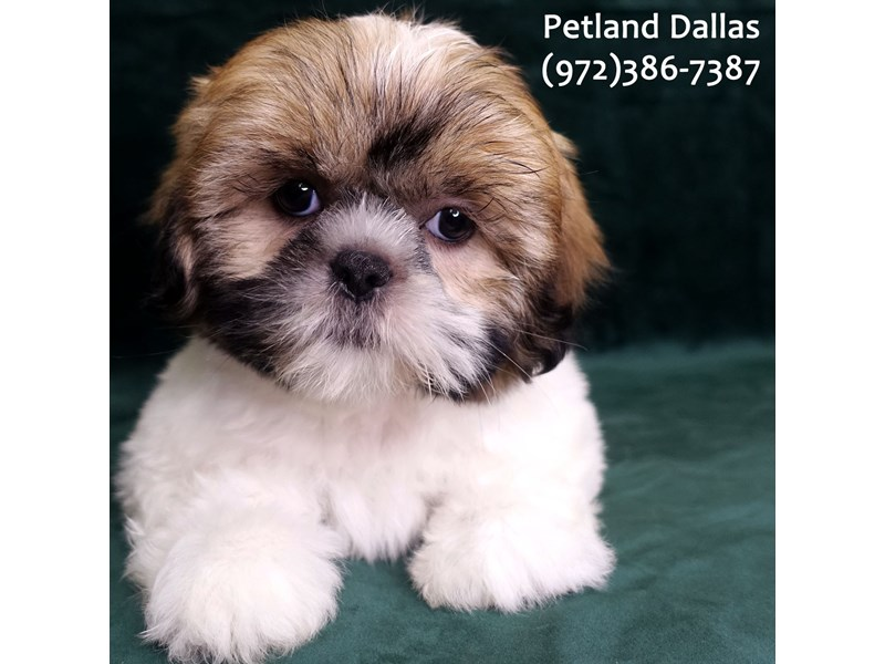 Lhasa Apso-Female-Brown and White-3047507-Petland Dallas, TX