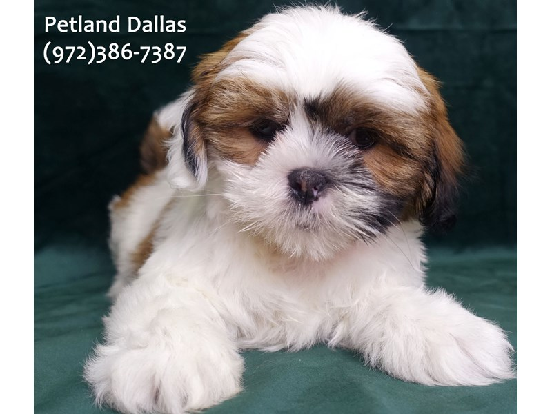 Lhasa Apso-Male-Brown and White-3047504-Petland Dallas, TX