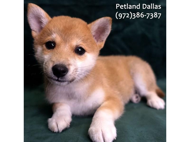 Shiba Inu-Male-Red Sesame-3047313-Petland Dallas, TX