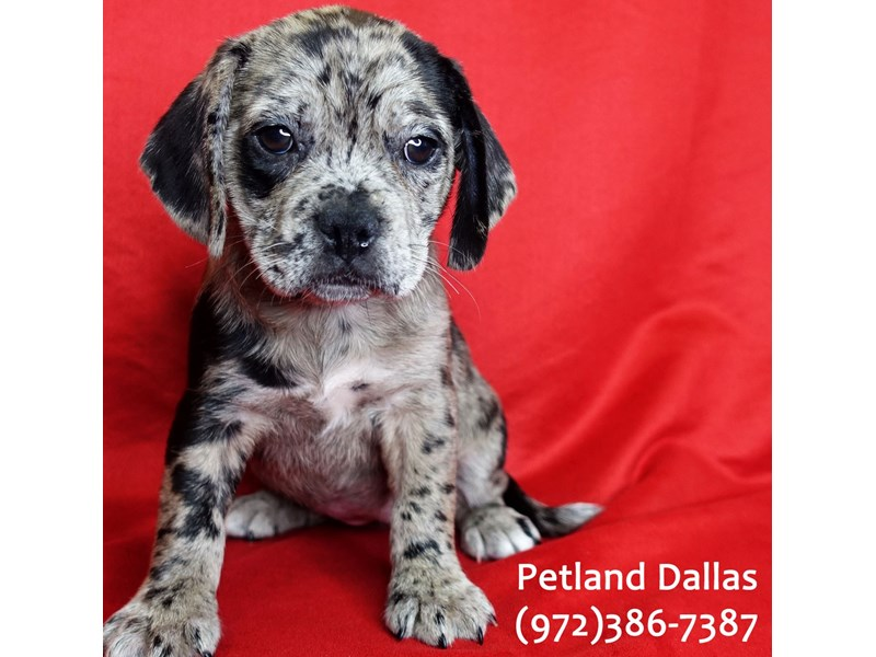 Puggle-DOG-Female-Blue Merle-3046897-Petland Dallas, TX