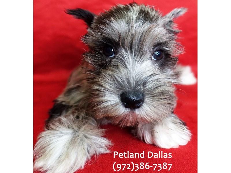 Miniature Schnauzer-DOG-Female-Blue Merle-3046896-Petland Dallas, TX