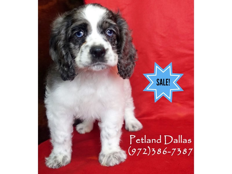 Cocker Spaniel-Female-Black and White-2991027-Petland Dallas, TX