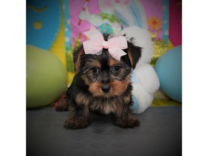 Yorkshire Terrier-Female-Blue / Tan-3058142-Petland Dallas, TX