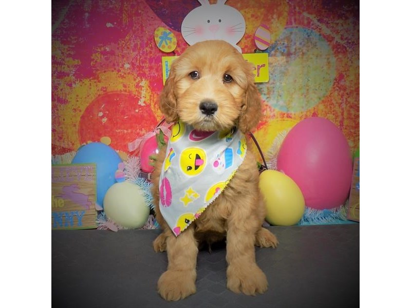 Goldendoodle 2nd Gen-Male-Red-3058147-Petland Dallas, TX