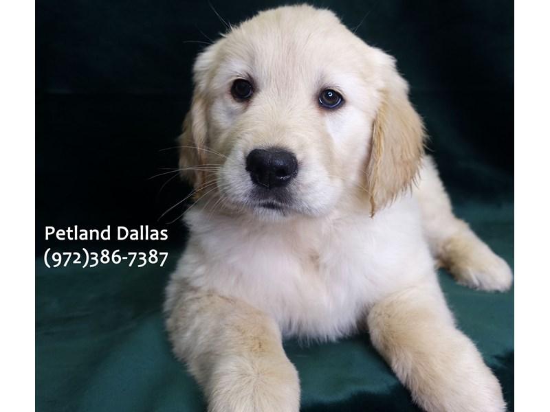 Golden Retriever-Female-Light Gold-3058354-Petland Dallas, TX