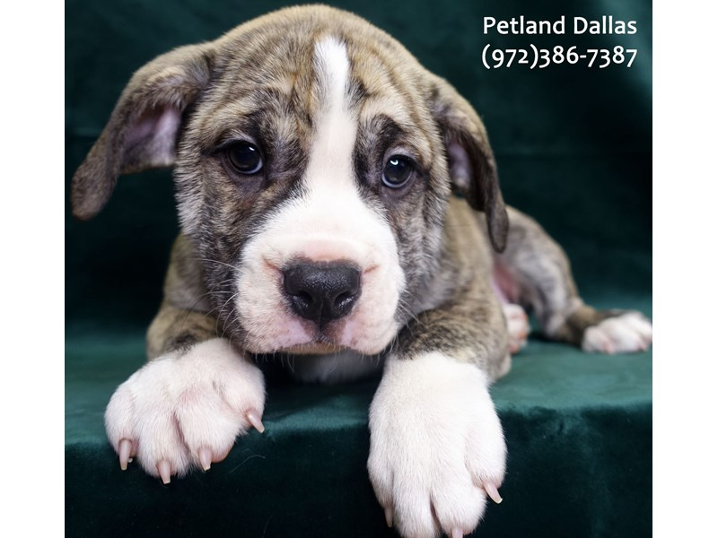 Victorian Bulldog-Female-Brindle-3052133-Petland Dallas, TX