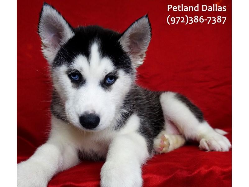 Siberian Husky-Female-Black and White-3057810-Petland Dallas, TX