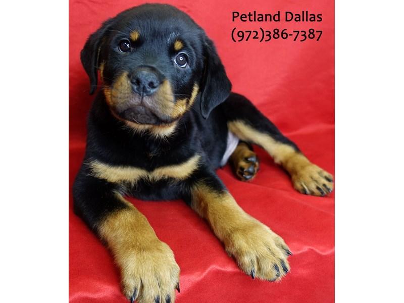 Rottweiler-Male-Black Tan-3055422-Petland Dallas, TX