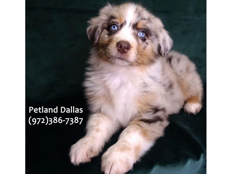Australian Shepherd-Female-RED MERLE-3055350-Petland Dallas, TX
