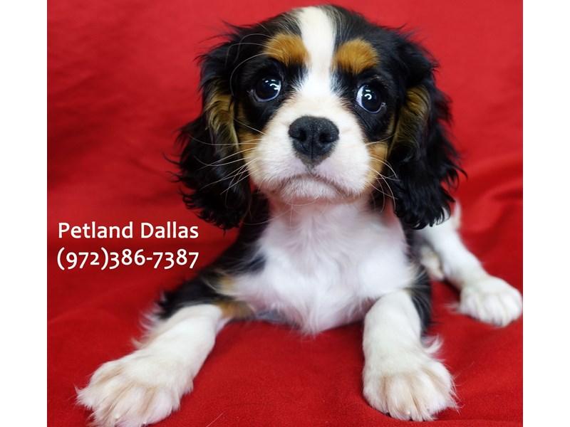 Cavalier King Charles Spaniel-Male-Tri-3059445-Petland Dallas, TX