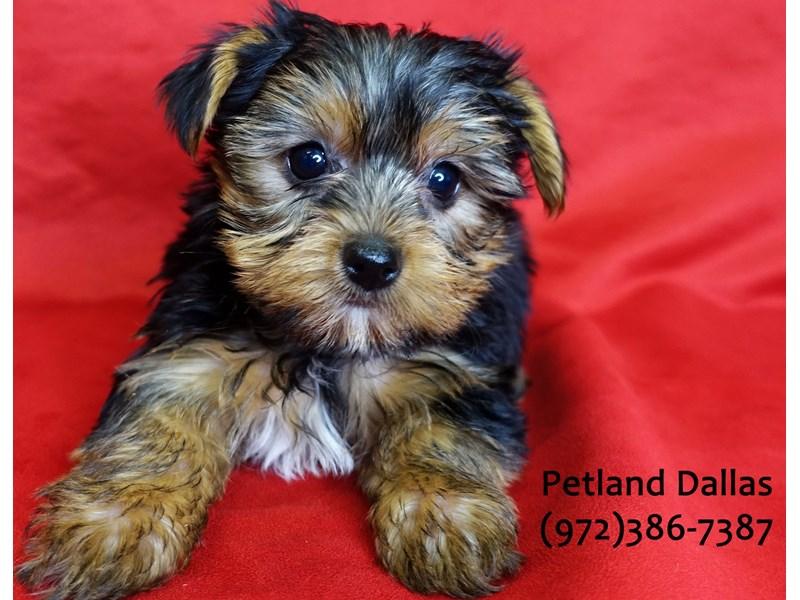 Yorkshire Terrier-Male-Black & Tan-3059444-Petland Dallas, TX