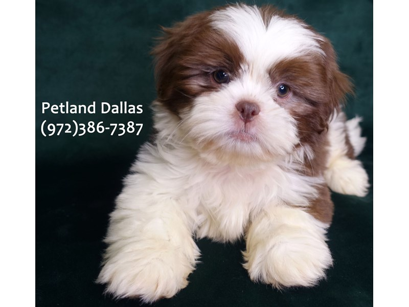 Shih Tzu-Male-Liver & White-3059439-Petland Dallas, TX