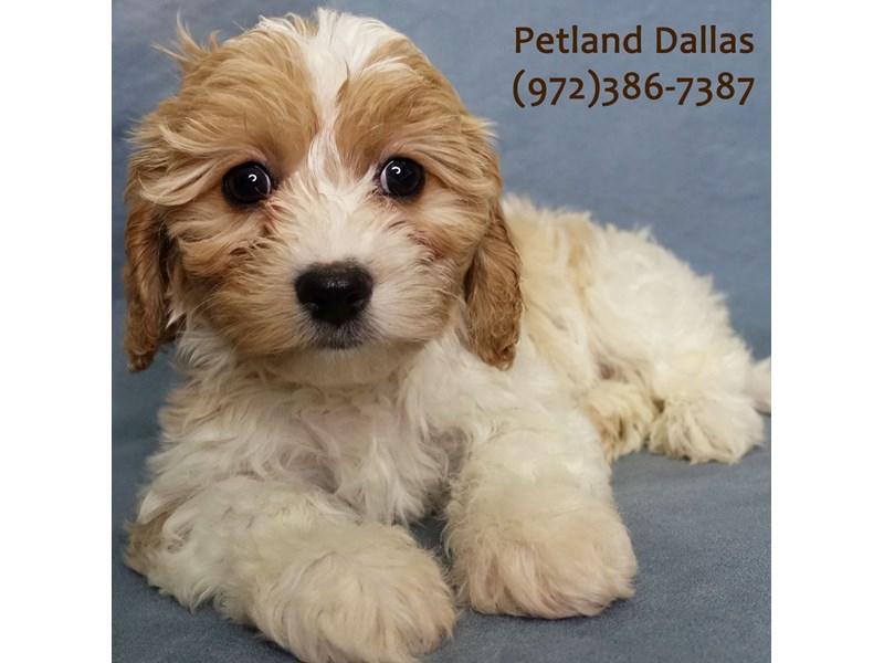 Cavachon-Female-Blenheim-3024744-Petland Dallas, TX
