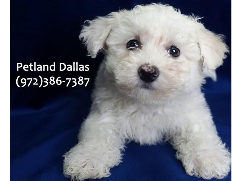 Bichon Frise-Male-WH-3024790-Petland Dallas, TX