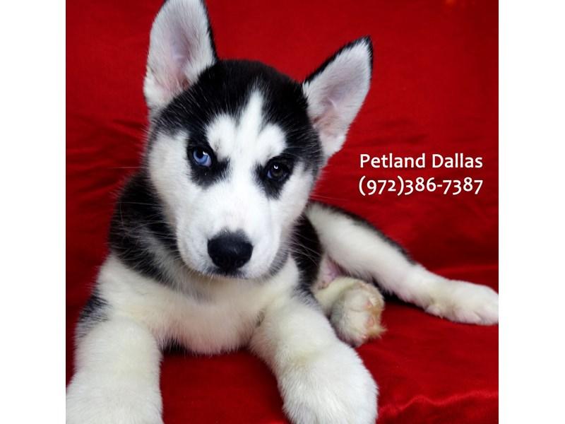 Siberian Husky-Male-Black and White-3057811-Petland Dallas, TX