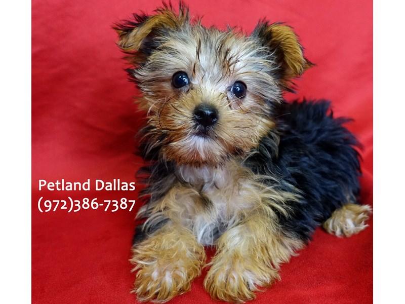 Yorkshire Terrier-Male-Black & Tan-3059448-Petland Dallas, TX