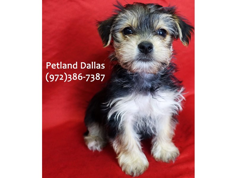 Morkie-Male-Black & Tan-3059443-Petland Dallas, TX