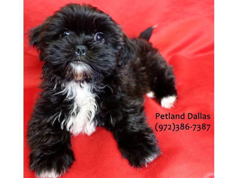Teddy Bear-Female-Black & White-3059441-Petland Dallas, TX