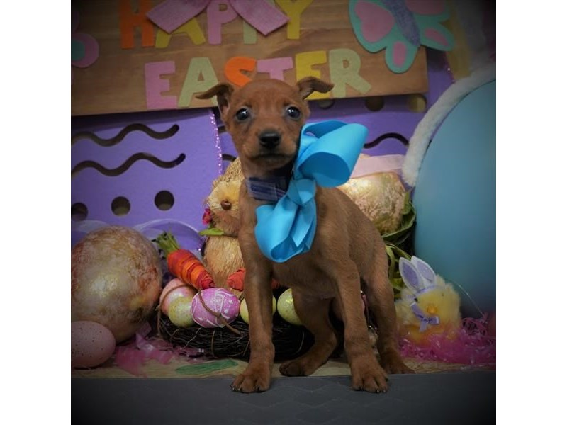 Miniature Pinscher-Female-Stag Red-3068830-Petland Dallas, TX