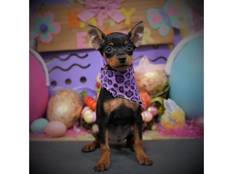 Miniature Pinscher-Male-Black / Rust-3068831-Petland Dallas, TX