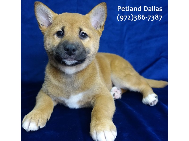 Shiba Inu-Female-Red Sesame / White-3068815-Petland Dallas, TX