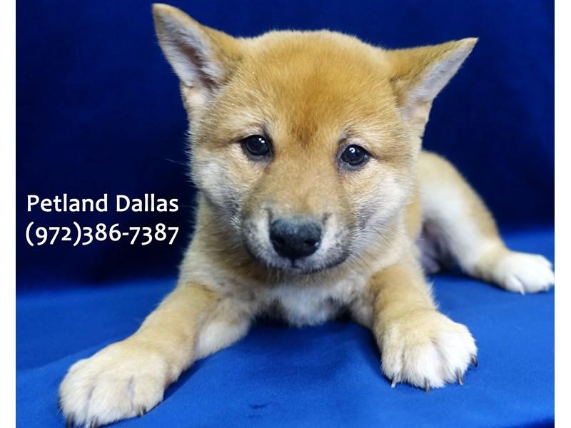 Shiba Inu-Female-Red / White-3070921-Petland Dallas, TX