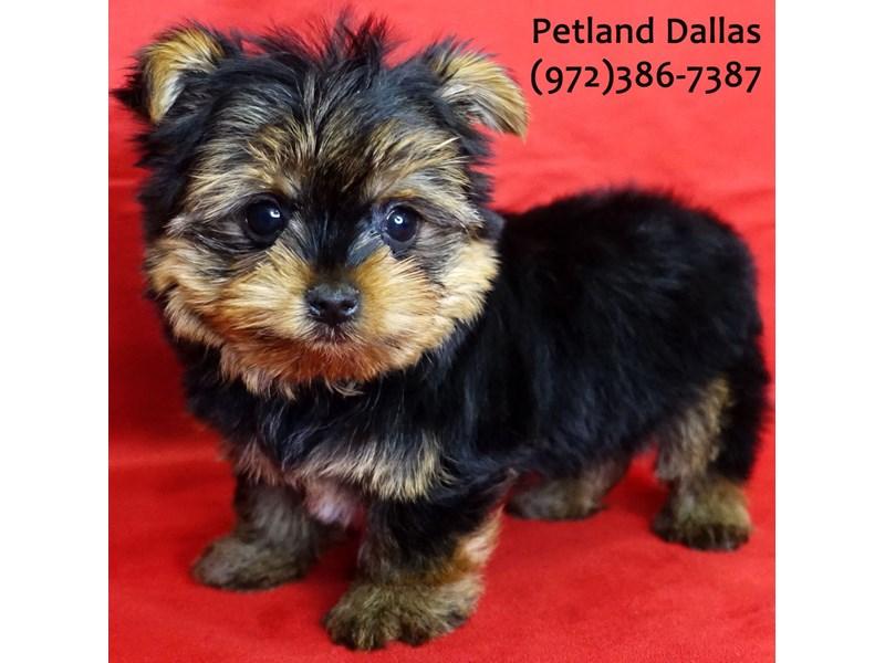 Yorkshire Terrier-Male-Black & Tan-3080101-Petland Dallas, TX