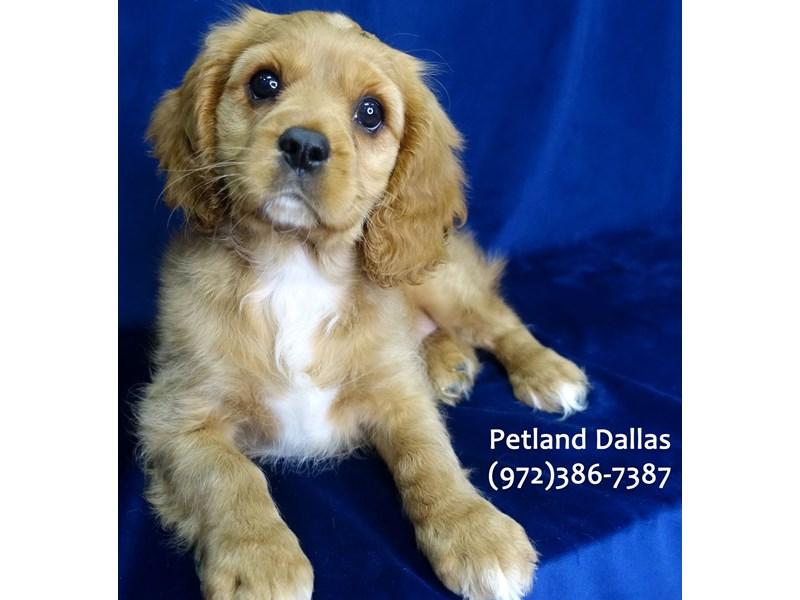 Cavalier King Charles Spaniel-Female-Ruby & White-3080090-Petland Dallas, TX