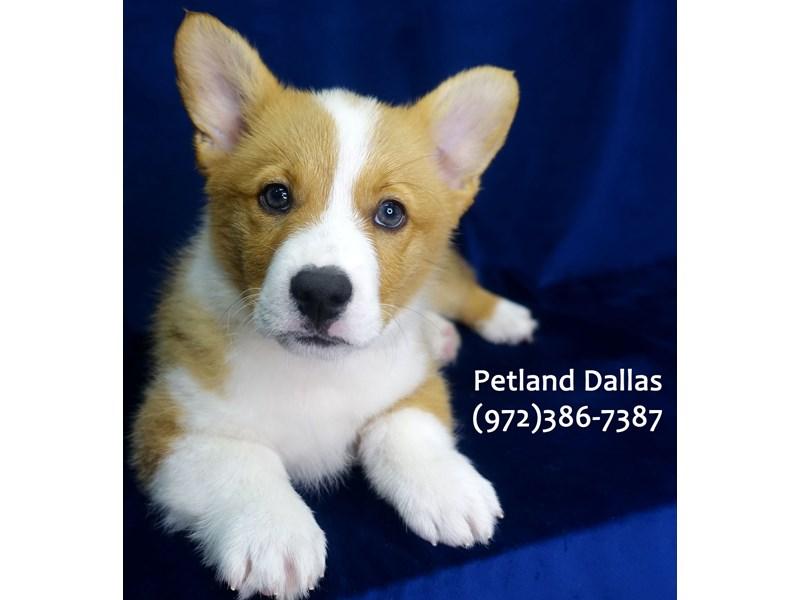 Pembroke Welsh Corgi-Male-Sable-3080079-Petland Dallas, TX