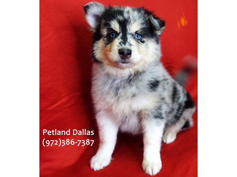 Pomsky-Female-Blue Merle-3079895-Petland Dallas, TX