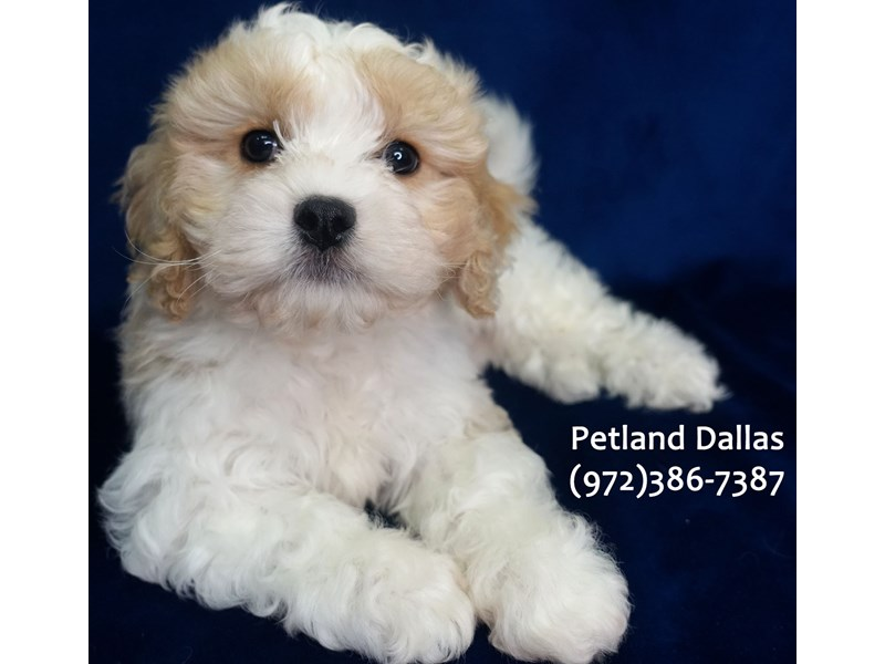 Cavachon-Male-Apricot and White-3079994-Petland Dallas, TX