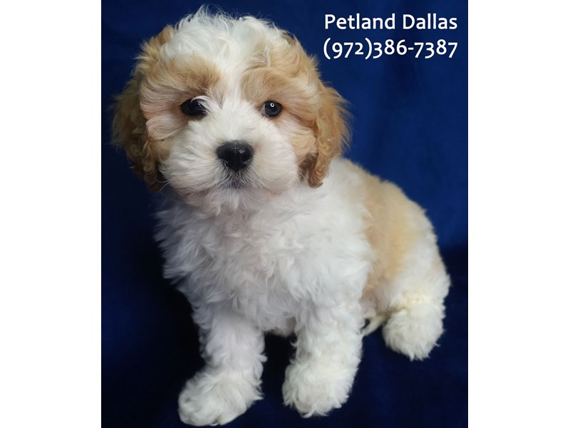 Cavachon-Male-Apricot and White-3079990-Petland Dallas, TX