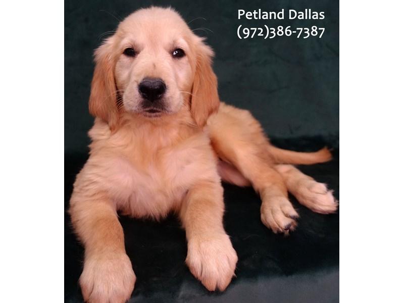 Golden Retriever-Male-Golden-3076811-Petland Dallas, TX
