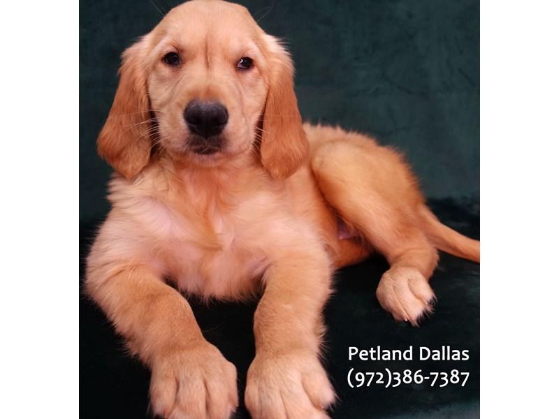 Golden Retriever-Female-Golden-3076814-Petland Dallas, TX