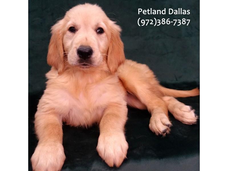 Golden Retriever-Female-Golden-3076815-Petland Dallas, TX