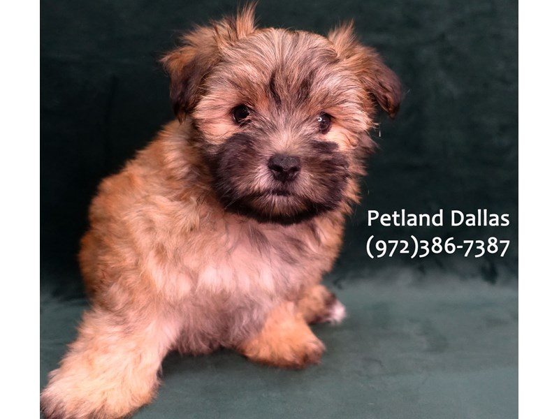 Morkie-Male-Red Sable-3084887-Petland Dallas, TX