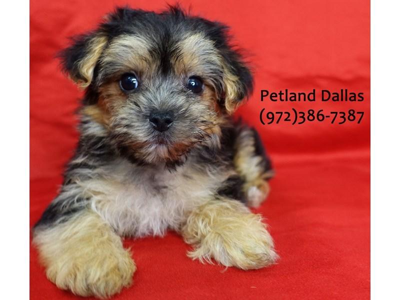 Morkie-Female-Red Sable-3084885-Petland Dallas, TX