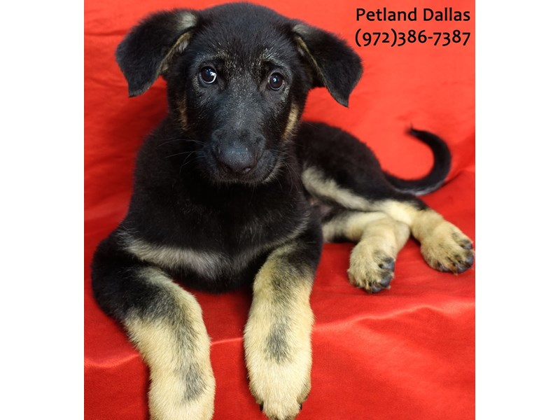 German Shepherd-Male-Black and Tan-3101511-Petland Dallas, TX